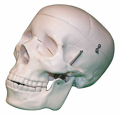 Anatomical Skull - Life-Size Anatomy Model