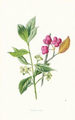FLOWERS. Spindle-Tree c1895 old antique vintage print picture
