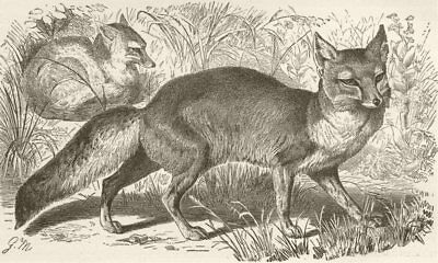 FOXES. The Corsac fox 1893 old antique vintage print picture