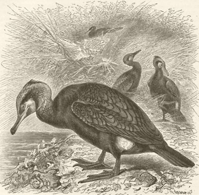 BIRDS. Common Cormorant 1895 old antique vintage print picture