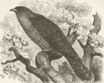 BIRDS. Common cuckoo 1895 old antique vintage print picture