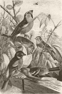 FINCHES. Hawfinch; Greenfinch; Linnet; Brambling; Chaffinch 1894 old print