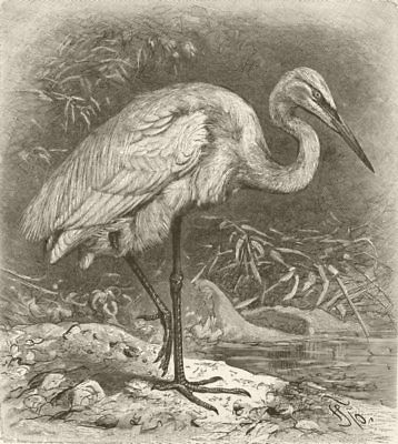 BIRDS. Great white heron 1895 old antique vintage print picture