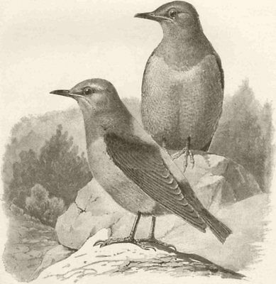 PERCHING BIRDS. A pair of rock-thrushes 1894 old antique vintage print picture