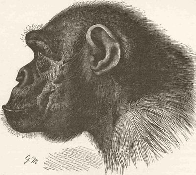 PRIMATES. Side head of chimpanzee Mafuka 1893 old antique print picture