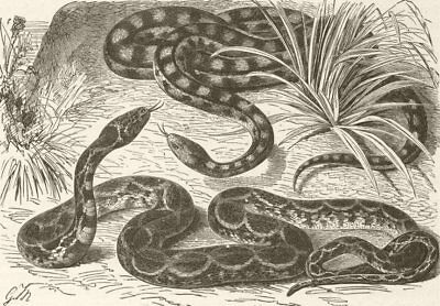 ANIMALS. Black-marked & horseshoe-snakes  1896 old antique print picture