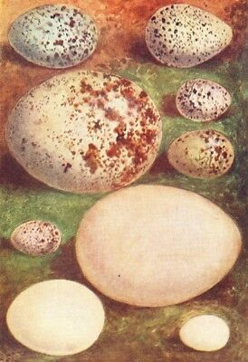 EGGS. Ring Ouzel; Kentish Plover; Buzzard; Hawfinch 1901 old antique print