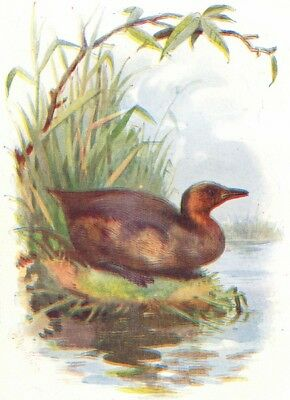 BIRDS. Little Grebe  1901 old antique vintage print picture