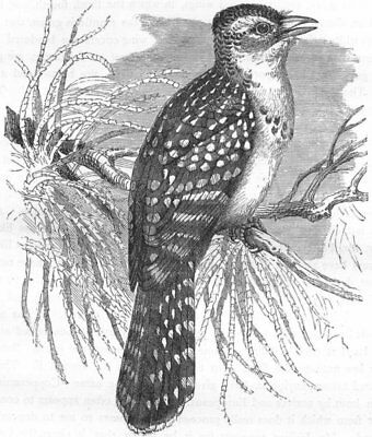 BIRDS. Searcher. Cuckoo. Pearl Bird c1870 old antique vintage print picture