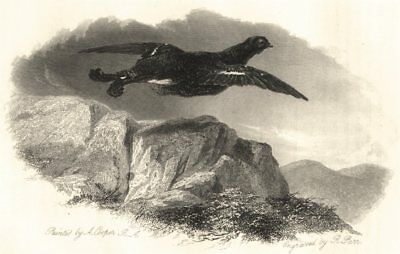 BIRDS. 'The Black Cock'. (By A Copper)  1834 old antique vintage print picture