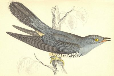 BIRDS. Cuckoo (Morris) 1880 old antique vintage print picture