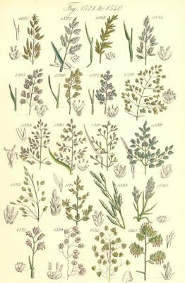 WILD GRASS FLOWERS. Meadow Sweet Heath Quaking Cock's-foot grass. SOWERBY 1890