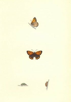 BUTTERFLIES. Small Copper (Morris) 1868 old antique vintage print picture
