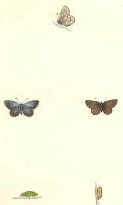BUTTERFLIES. Little Blue (Morris) 1868 old antique vintage print picture