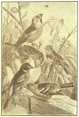BIRDS. Song Finches; Hawfinch; Greenfinch; Linnet; Chaffinch; Mtn Finch 1907