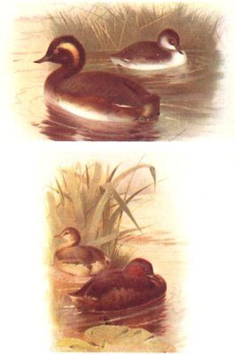 BRITISH BIRDS. Black-necked, Little Grebe (Summer and Winter) . THORBURN 1925