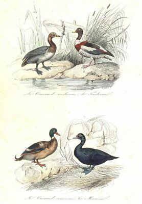 BIRDS. Grey Widgeon, Shelldrake, Scoter, Sea Duck; Canard; Tadorne. BUFFON 1841