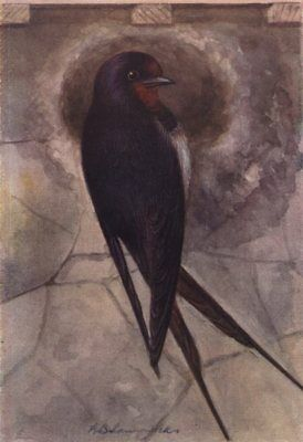 INDIAN BIRDS. The Common Swallow 1943 old vintage print picture