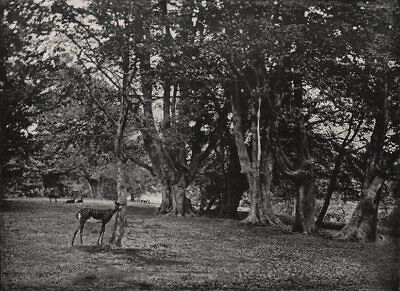 EPPING FOREST. Beech Wood. Essex 1900 old antique vintage print picture