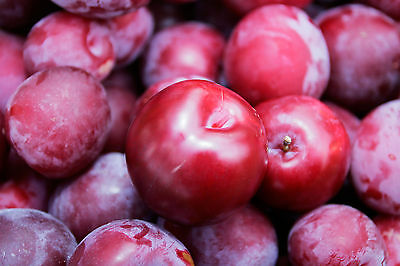 Crisp, Sweet & Tangy* *Delicious PLUM Tree* 5-Finest Seeds* Hardy Variety For UK