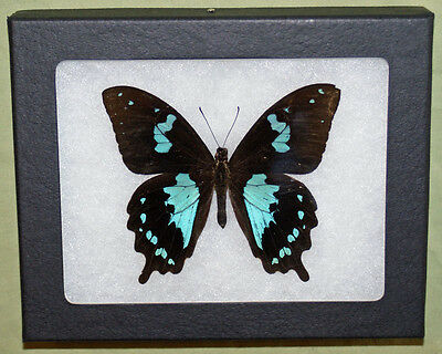 Real Framed Butterfly, Papilio Epiphorbus, in Riker Mount
