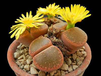 Living Stone Seed Arid Living Popular House Plant Delightful Lithops aucampiae
