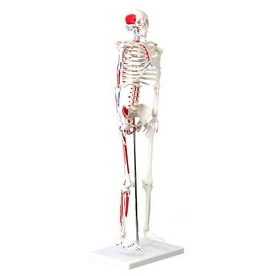 Muscular Skeleton Model, 1/2 life size, 85cm (33.5 inches), Muscle Painted, New