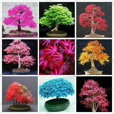 20 Pcs 8 Kinds Japanese UK Maple Bonsai Tree Seeds Garden Plants  for home