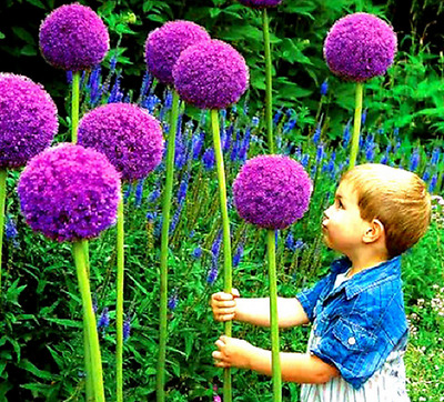 Pack of  50  Seeds Heirloom Allium Giganteum Giant Onion with Purple Flower
