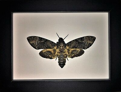Death Head Moth in a Frame