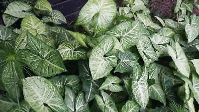 Syngonium White Butterfly Indoor Plant, Hanging Pots, Vertical Garden Climber