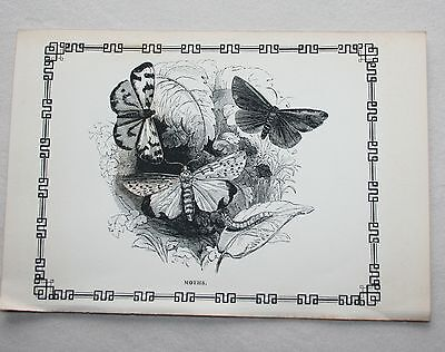 Antique Victorian Print Engraving Natural History 1840's  Moths