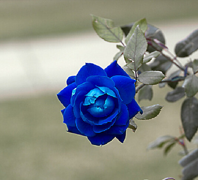 pack of 50 fresh Seeds Rare Princess Blue Rose Plant garden Light Fragrant