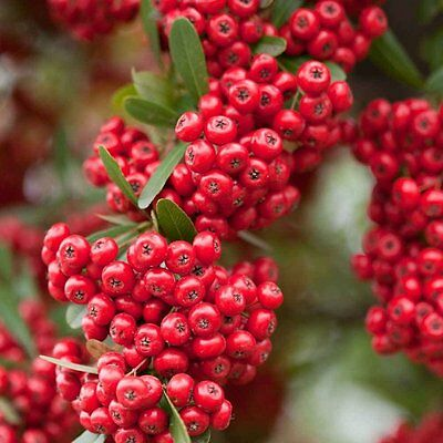 Evergreen Red Shrub Firethorn ''PYRACANTHA'' 25-Finest Seeds*Artificial Fence*UK