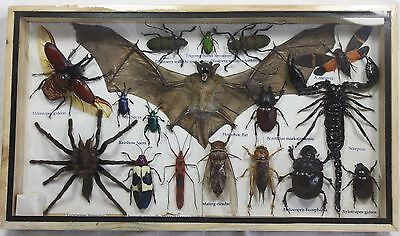 Real Exotic Spider Scorpion Bat Bug Insect Cicad Butterfly Taxidermy Wood Frame