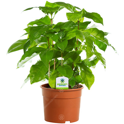 Coffee Arabica - 1 Plant - House / Office Live Indoor Pot Plant Tree