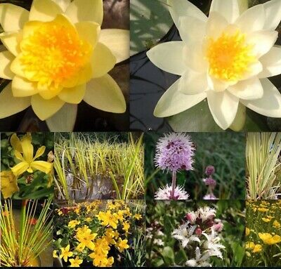Pond Plant Packages Selection Of Water Lily Marginal Bog Aquatic Pond Plants