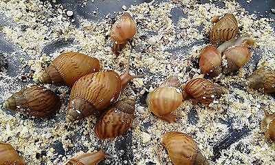 Food for Giant and Land Snails, Organic,10 Cereals, Handmade, Top Quality,80gr