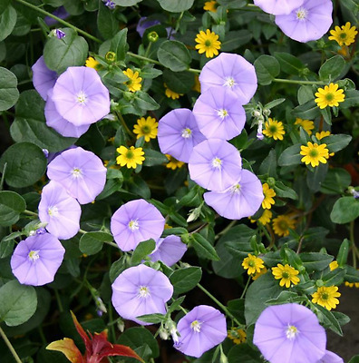 Convolvulus sabatius Blue rock bindweed (Sent in 9cm pot)