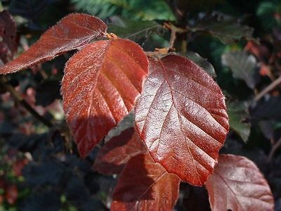 Purple Beech - Fagus Sylvatica Atropurpurea - 10 seeds - Tree - Bonsai - Hedging