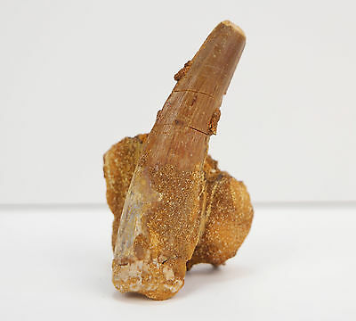 "Rare Spinosaurus Dinosaur Tooth Fossil with Root and Jaw Section 2.3"" 6cm"