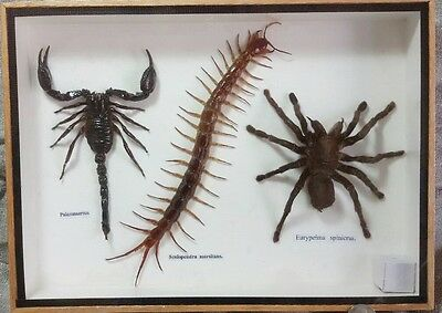 Real Exotic Spider Scorpion Centipede Collection Bug Insect Taxidermy In Frame