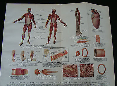 Anatomy Print Muscle Tissue  c1920