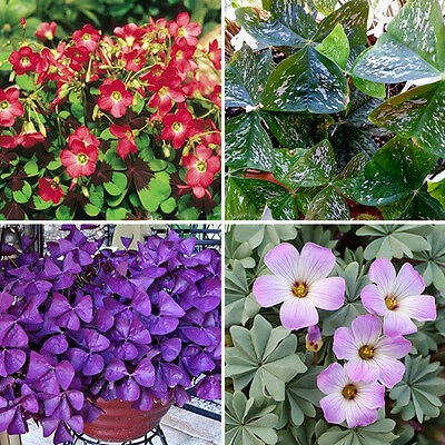 10pcs Various Shamrock- Oxalis Triangularis Perennial Bulbs Leaf Flower Seeds