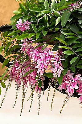 1  Chinese Indigo Plant/WISTERIA-LIKE PINK FLOWER CLUSTERS  / Idea for banzai