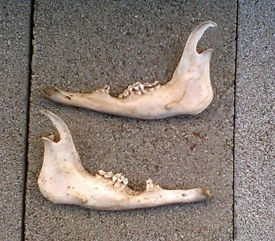 PAIR of ANIMAL JAWBONES ~TEXAS RANCH~ JAW BONES w/TEETH ~CRAFT~COLLECT~DISPLAY