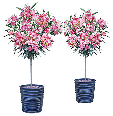 Pair of Hardy Oleander Standards Pink 1 tall (2 Plants)