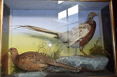 Pheasants in glass case, victorian