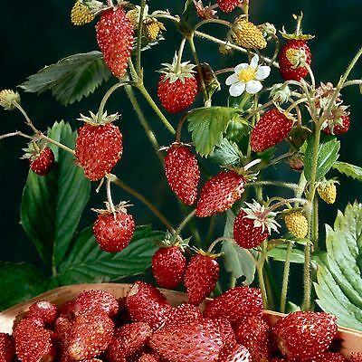 Woodland Strawberry /  Fragaria Vesca - 100 seeds - Healthy Berries