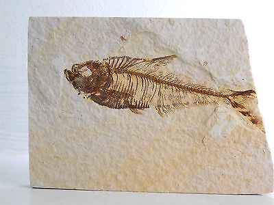 17F) Fossil Fish Display Plate Great Gift Art Home Decor - Wyoming USA